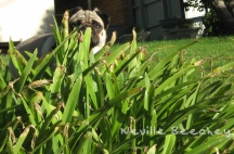 Tiger Lily Lake Colac