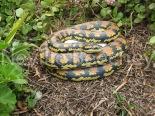 Carpet Python Snake 002