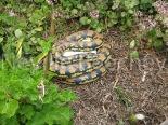 Carpet Python Snake 004