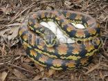 Carpet Python Snake 007
