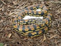 Carpet Python Snake 009