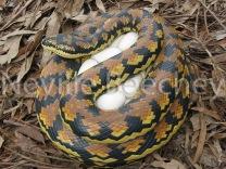 Carpet Python Snake 010