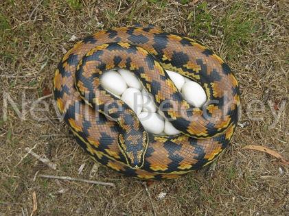 Carpet Python Snake 016